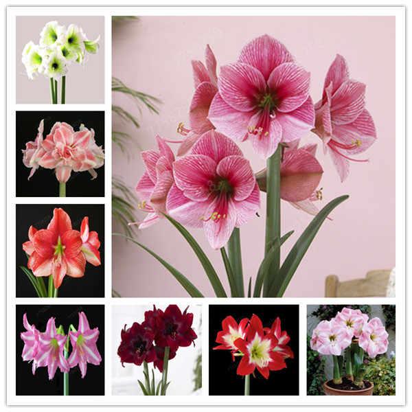 2 ชิ้น/แพ็คสีขาว Hippeastrum Rutilum หลอดไฟ Bonsai ดอกไม้ Bonsai Potted Bonsai ดอกไม้หายากสวนบอนไซ