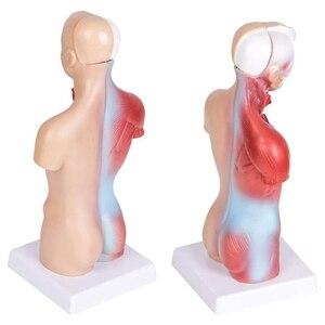 Image 5 - جسم الإنسان الجذع نموذج تشريح القلب الدماغ هيكل عظمي المدرسة الطبية التعليمية 11 بوصة لأداة تعليم الطفل التدريس