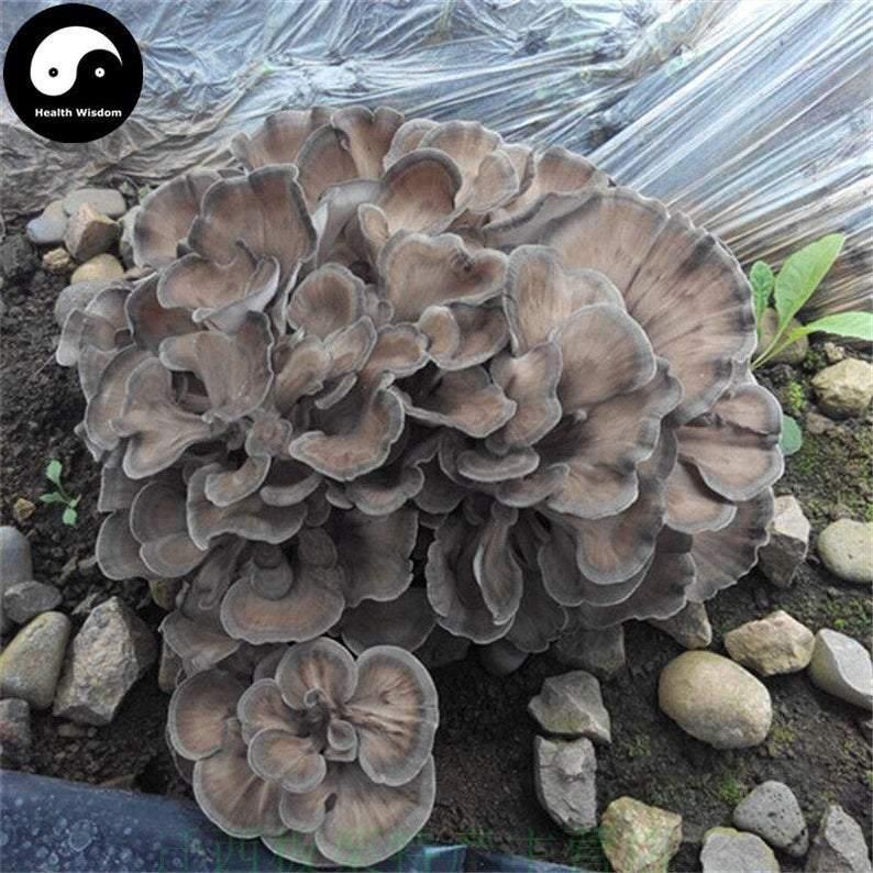 Maitake, Grifola Frondosa, Dancing Mushroom