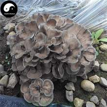 цена на Maitake, Grifola Frondosa, Dancing Mushroom
