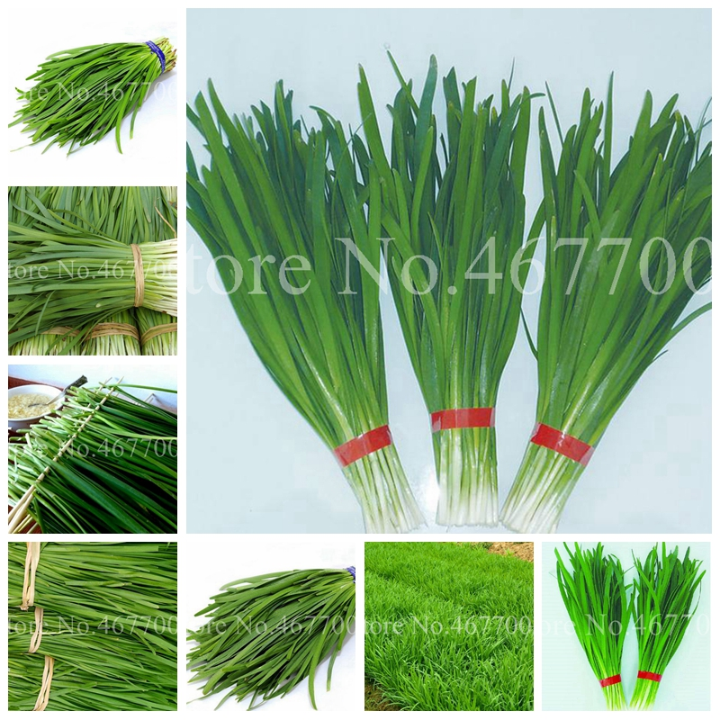 300 Pcs/ Bag Chinese Chives Everygreen Non-GMO Tasty Juicy Leek Vegetable Garden Plant For Flower Pot Planters Easy To Grow