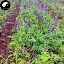 цена на Buy Salvia Miltiorrhiza Semilla Plant Chinese Herb Danshen For Dan Shen