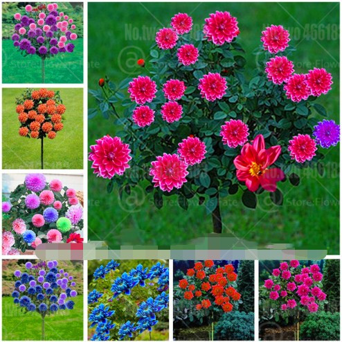 50pcs Rainbow Dahlia Bonsai Dahlia Flower Bonsai Tree Plants Rare Flowers Pot Plant Bonsai Flower DIY Home Garden Planting