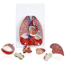 Анатомическая Анатомия человека дыхательная система медицинская модель горло сердце легкое с гортанью медицинская обучающая анатомическая модель