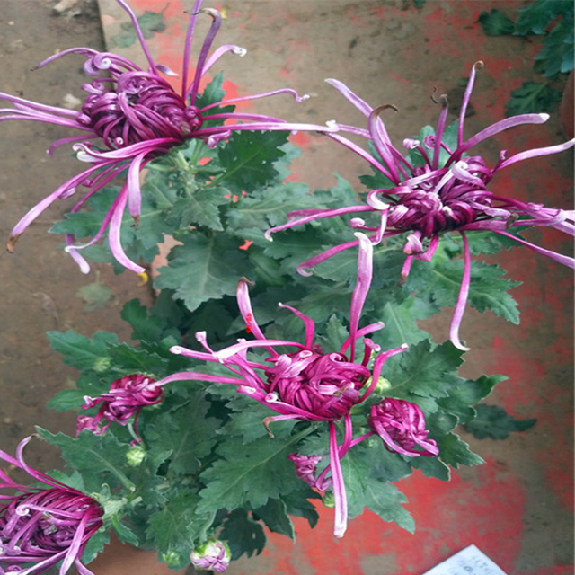 Plant Flower Bath Salts Colorful Peony Chrysanthemum Essence 100Pcs XZZ-138 4