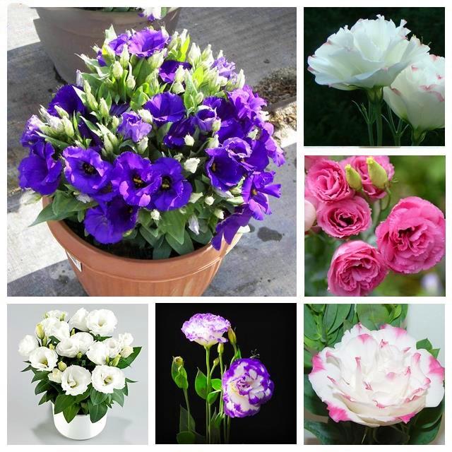 Plant Flower Bath Salts Eustoma Essence 100Pcs XZZ-45