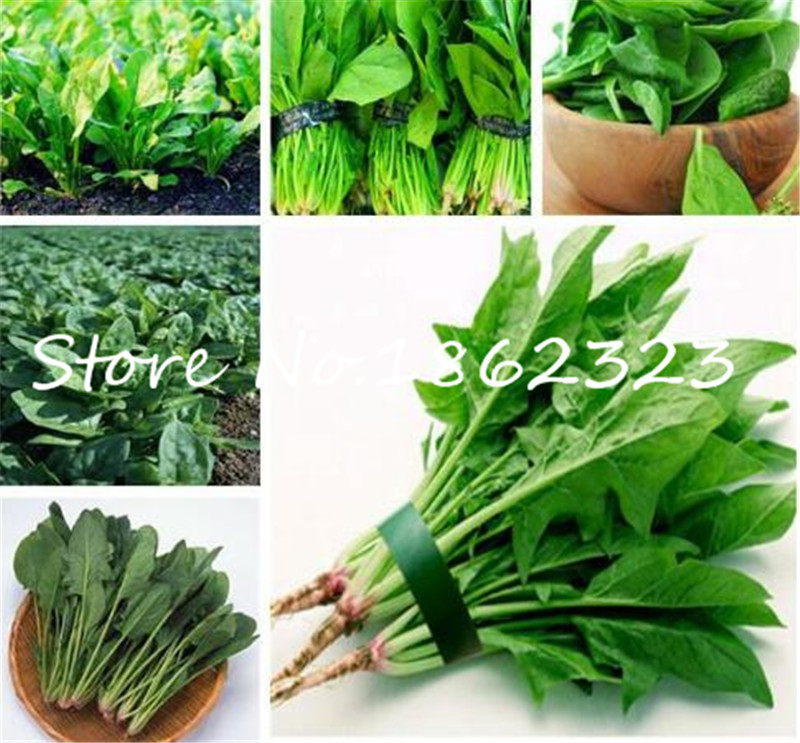 500 Pcs Water Spinach Vegetable Bonsai Kangkong,Chinese Spinach Or Watercress Time Limit Promotion Spinach Bonsai Organic Green