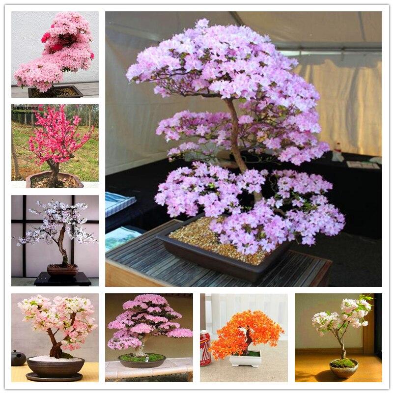 15Pcs Bonsai Sakura Seeds Garden Nature Plants Home Fragrance Cute Mini Sakura Flower Fruits Essence Lip Mask HB8