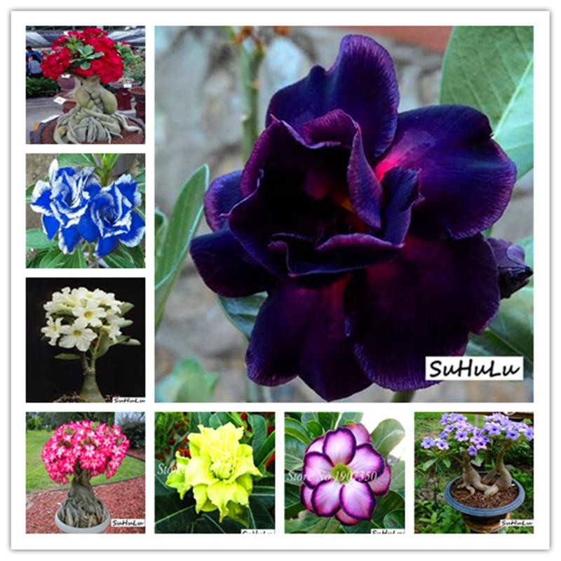 14 Kinds 5pcs Various Colors Adenium Obesum Bonsai Potted Plant 100% High Quality Genuine Desert Rose Perennial For Garden