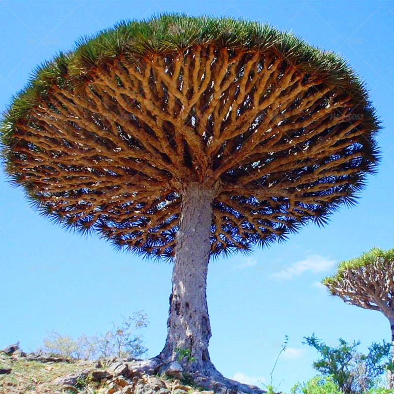 Dragon Blood Tree 30