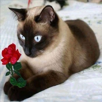 Broderie Diamant Chatsiamois avec une rose