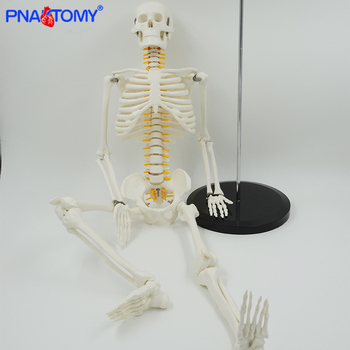 85cm skeleton model with nerves system medical teaching educational equipment skeleton anatomy human spine and skull anatomical 85cm skeleton model with nerves system medical teaching educational equipment skeleton anatomy human spine and skull anatomical