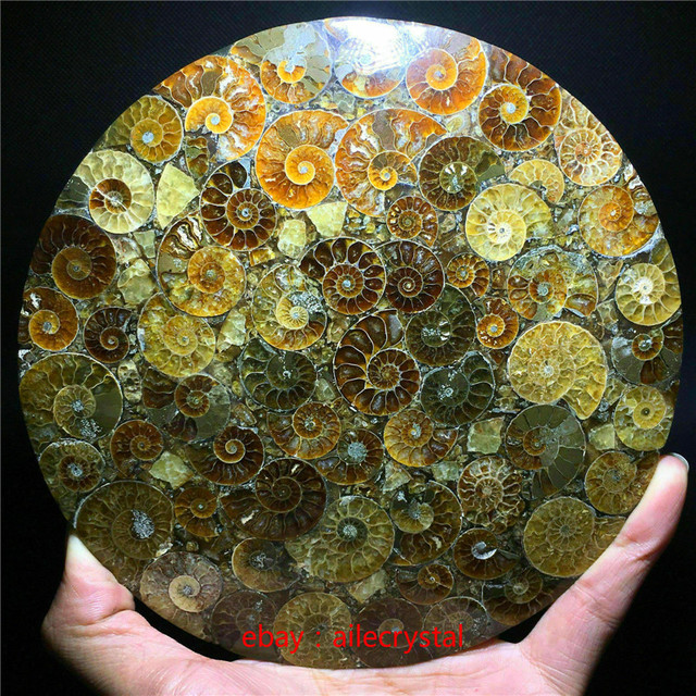 Natural Ammonite Disc Fossil Conch Specimen Healing +Stand 1pcs 6