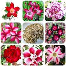 Vendita! 100 Pcs Bonsai Misto Ture Adenium Obesum Desert Rose Fiore Giardino di Casa Bonsai Succulente Balcone Pianta In Vaso 100% Genuino(China)
