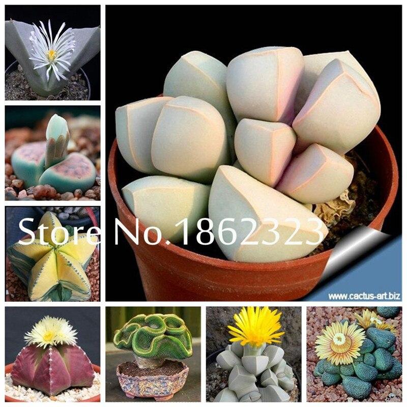 200 Pcs Rare Mix Lithops Bonsai Living Stones Succulent Cactus Organic Garden Bulk Bonsai Planta For Indoor Succulent Plants