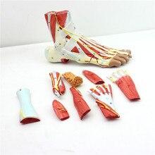 Muscles articulaires du pied humain, 9 pièces, modèle anatomique chirurgical, style neurovasculaire, taille de vie, 1:1