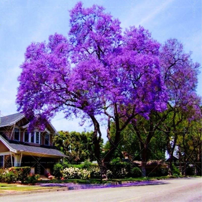 200Pcs Paulownia Bonsai Purple Paulownia Fortunei Flower Bonsai Tree Plants Multi-color Landscape Tree For Home Garden Pot