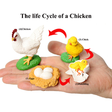 Simulation Hen model Figures the Life Cycle of a Chicken Includes eggs,hatchling,chick,mature chicken Figurine Educational toys