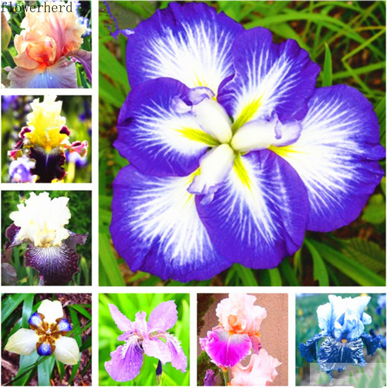 Garden Balcony Planting Flower Plants Iris Seeds Blue Butterfly Flower Phalaenopsis Butterfly Dance 30 Tablets Garden Tools