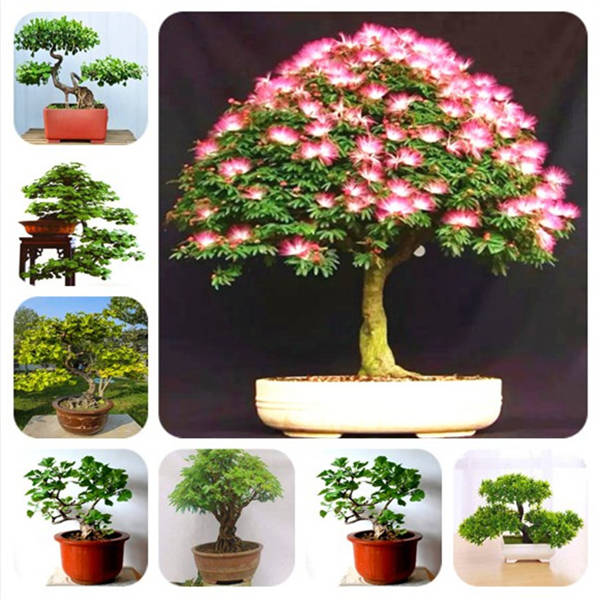 Bonsai 20 Pieces / Acacia Plant Bonsai Acacia Flowers Called Mimosa Silk Tree For Flower Potted Ornamental Plants Diy Home