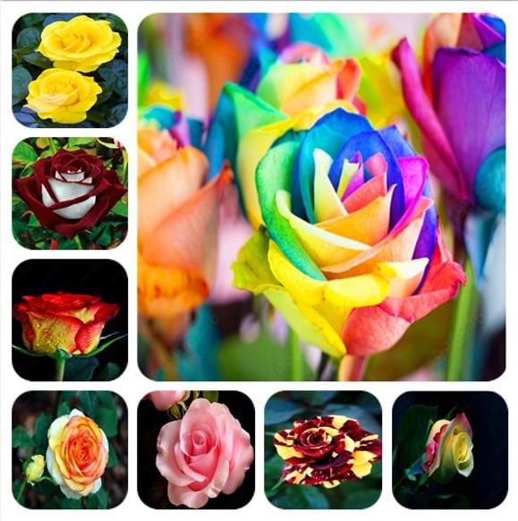 100Pcs/bag Amazingly Beauty Rose Bonsai Flower With Red Edge Seedling Rare Color Popular Garden Perennial Bush Or Bonsai