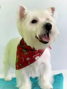 Image 5 - 60pcs/lot  New design Mix 60 Colors Adjustable New Dog Puppy Pet bandanas 100%Cotton Pet tie size S M  Y510