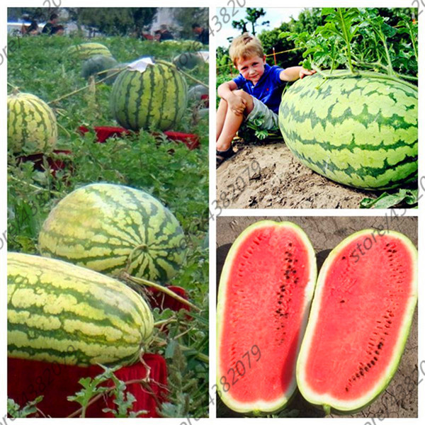 Giant Watermelon 30 title=