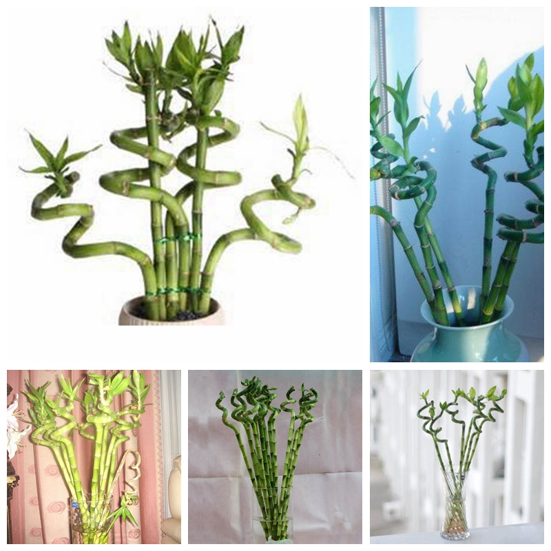 10 Pcs/ Bag Exotic Bamboo Bonsai Lucky Moso Bambu Tree Plant Home & Garden Decor Potted Perennial Plants For Flower Pot Planters