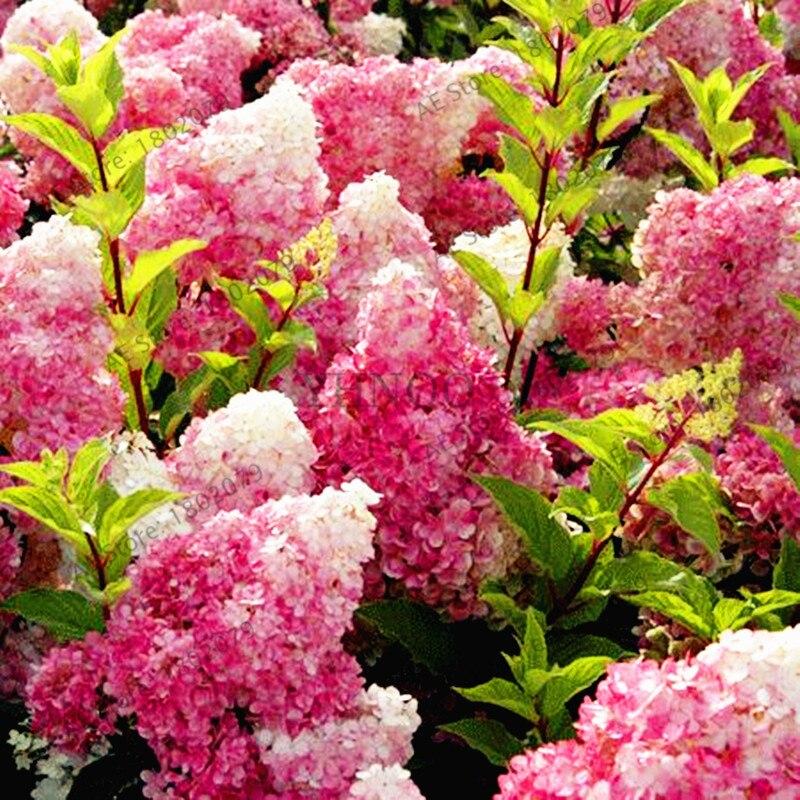 Big Sale ! 20 Pcs Vanilla Strawberry Hydrangea Bonsai,perennial Flower Plant Beautiful Wedding Party Flower For Home& Garden