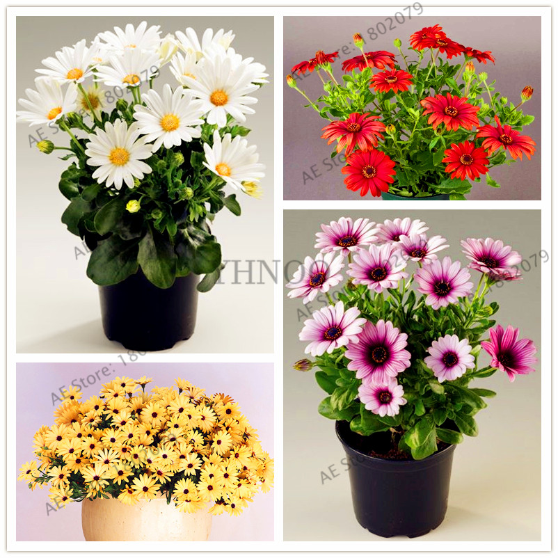 100 Pcs/bag,African Blue Eyed Daisy Flores Osteospermum Plantas Bonsai Flower Plante, Nature Potted Plant For Home Garden