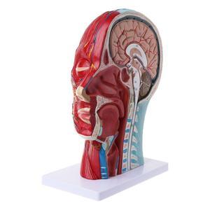 Image 3 - طائرة ساجيتال 1:1 رأس بشري الهيكل العظمي الرقبة الأوعية العصبية الدم الدماغ الإنسان التشريحية نصف رئيس الوجه التشريح نموذج تشريح