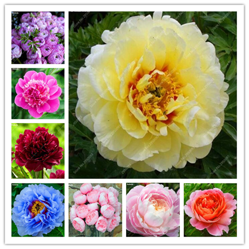 20 Pcs/ Bag Mixed Color Peony Bonsai Chinese Rose Tree Paeonia Plant Beautiful Decoration Potted Flower Plant For Home Garden