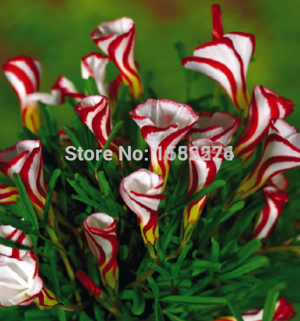 100PCS  Oxalis Versicolor Flower S