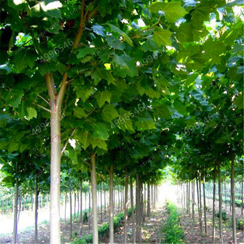 100pcs 100% High Quality Paulownia Elongata New Forest Tree Bonsais, Fast Growing Tree Bonsai Plant For Home Garden