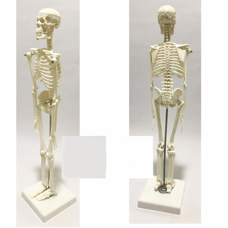 45cm Wholesale Flexible Medical Human Anatomical Anatomy Skeleton Model Medical Learn Aid Resources