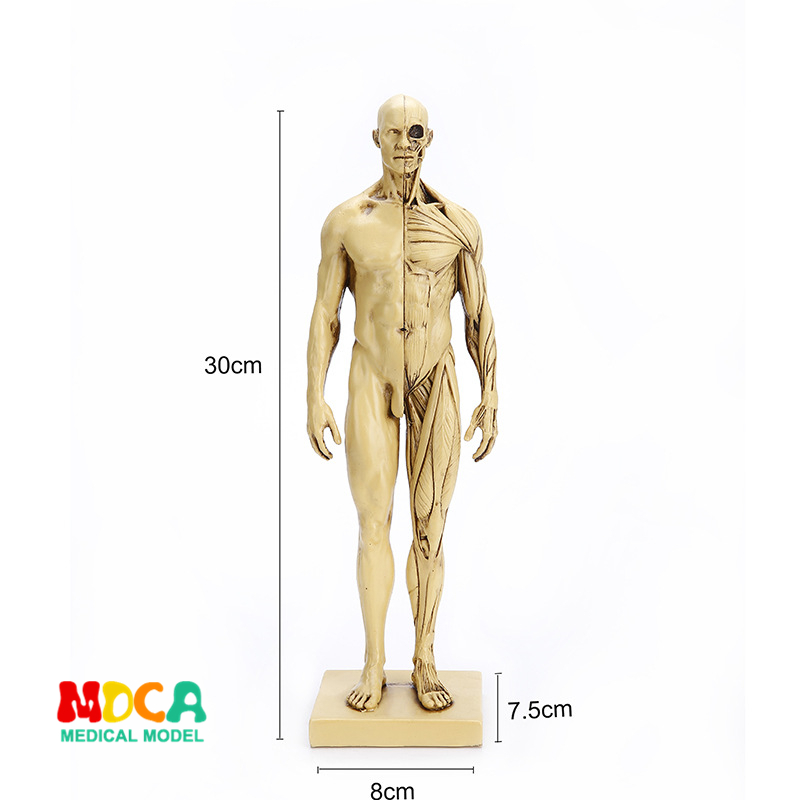 Pu 11inch Male Human Body Musculoskeletal Anatomical Model Cg Painting Sculpture Teaching Reference Tools Artists Manikins