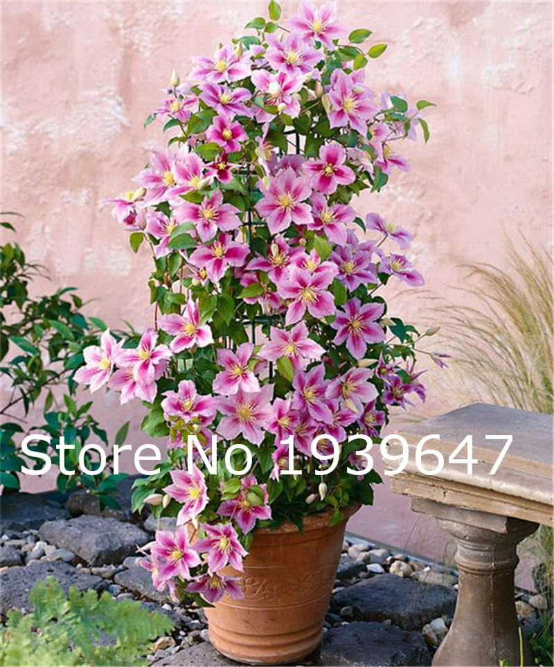 Big Promotion! 100 Flowers / Bag Climbing Clematis Perennial Bonsai, Patio Bonsai Flower Plants For Home Garden