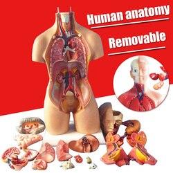 1 conjunto 4d anatômico conjunto modelo de órgãos humanos sala casa diy decoração acessórios ornamento tamanho pequeno modelo dropshipping