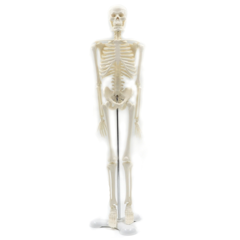 45CM Human Anatomical Anatomy Skeleton Model Medical Poster Medical Learn Aid Anatomy Human Skeletal Model