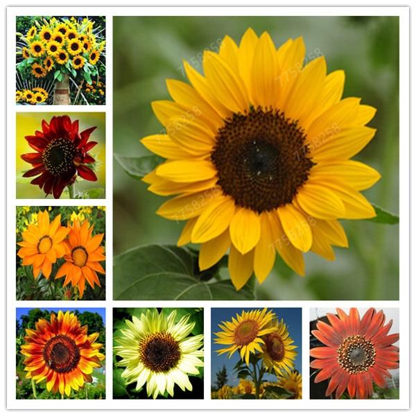 20 Pcs Mini Sunflower Penzai Flower Rare Color Sunflower Flower Indoor Flower Plant For Home Garden Ornamental Plants