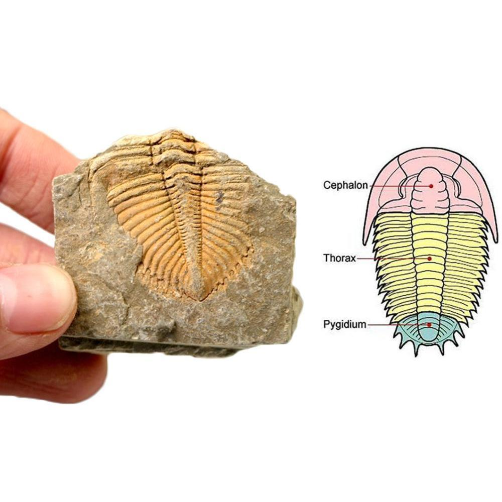 Natural Fossil Trilobite Tail Animal Coral Trilobite Crown Stone Insect Tail Science Teaching Specimen Collection Science