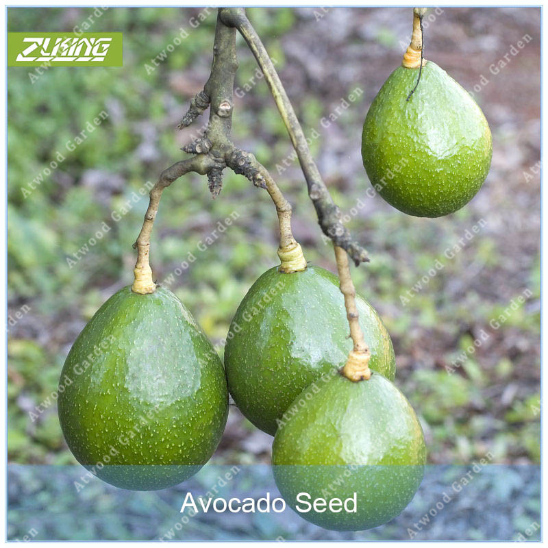 1PCS Avocado Trees  Fast Growing   Super Natural Products