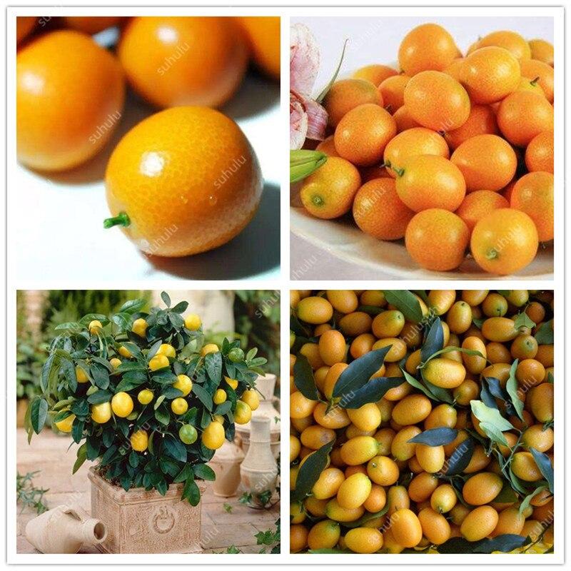 50 Pcs Kumquat Bonsai Balcony Patio Fruit Trees Garden Orange Flores Tangerine Dwarf Citrus Juicy Orange Fruit Tree For Garden