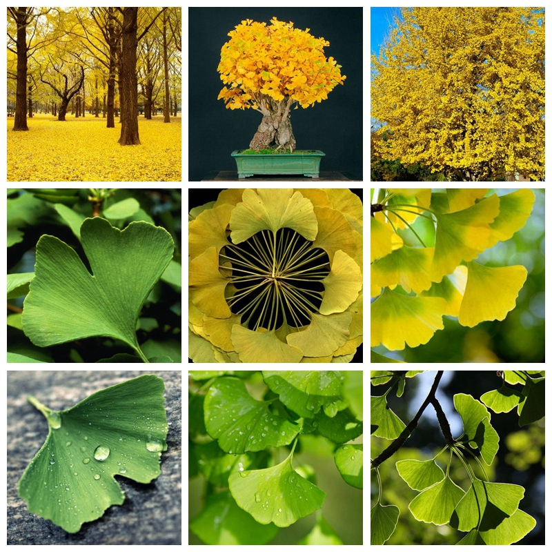 5 Pcs / Bag Strong Adaptability Ginkgo Biloba Bonsai Potted Of Maidenhair Tree Plant,sprouting 100% Fruit Gardn Tree