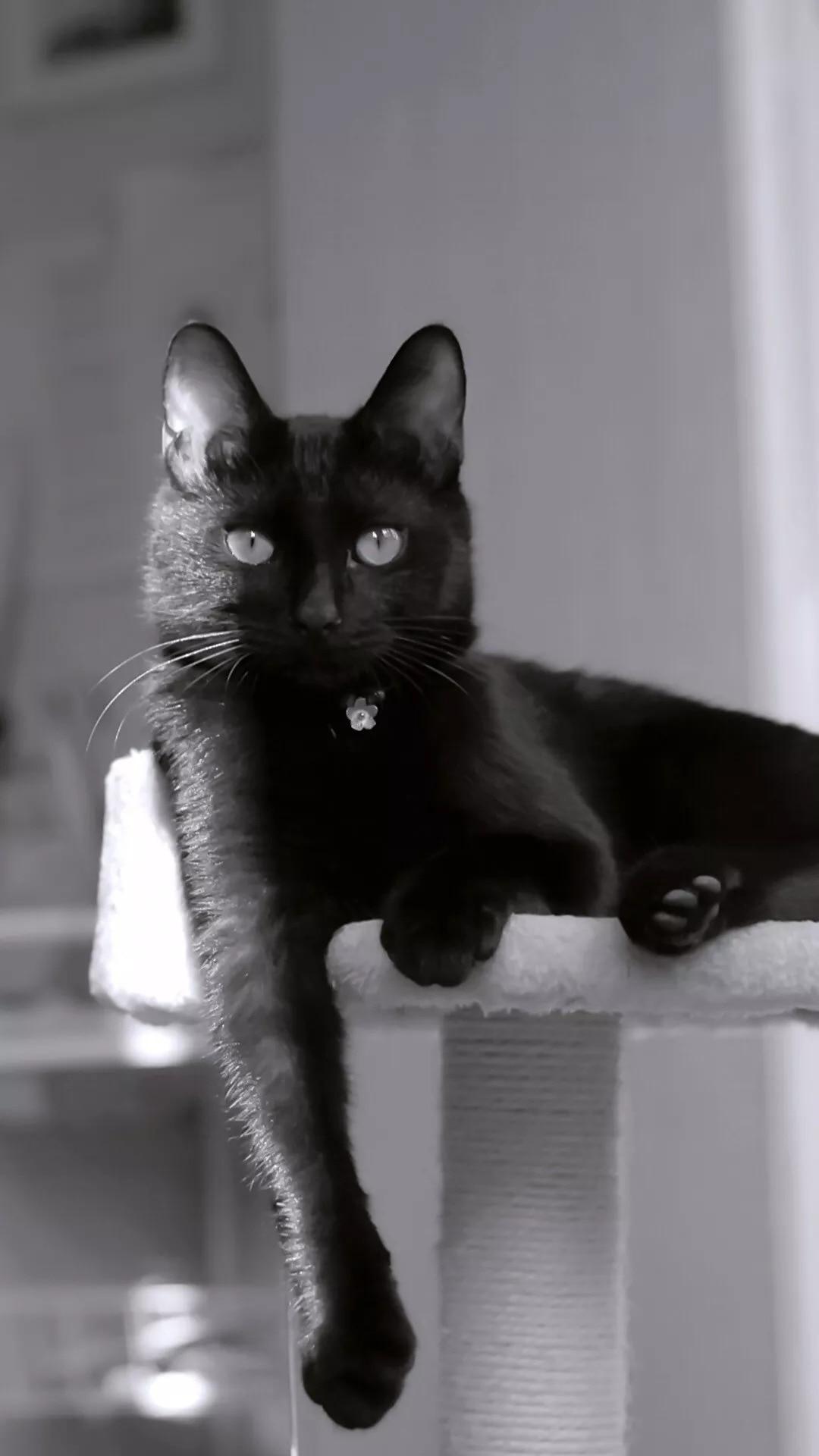 猫片壁纸:猫咪(黑猫图片)插图9