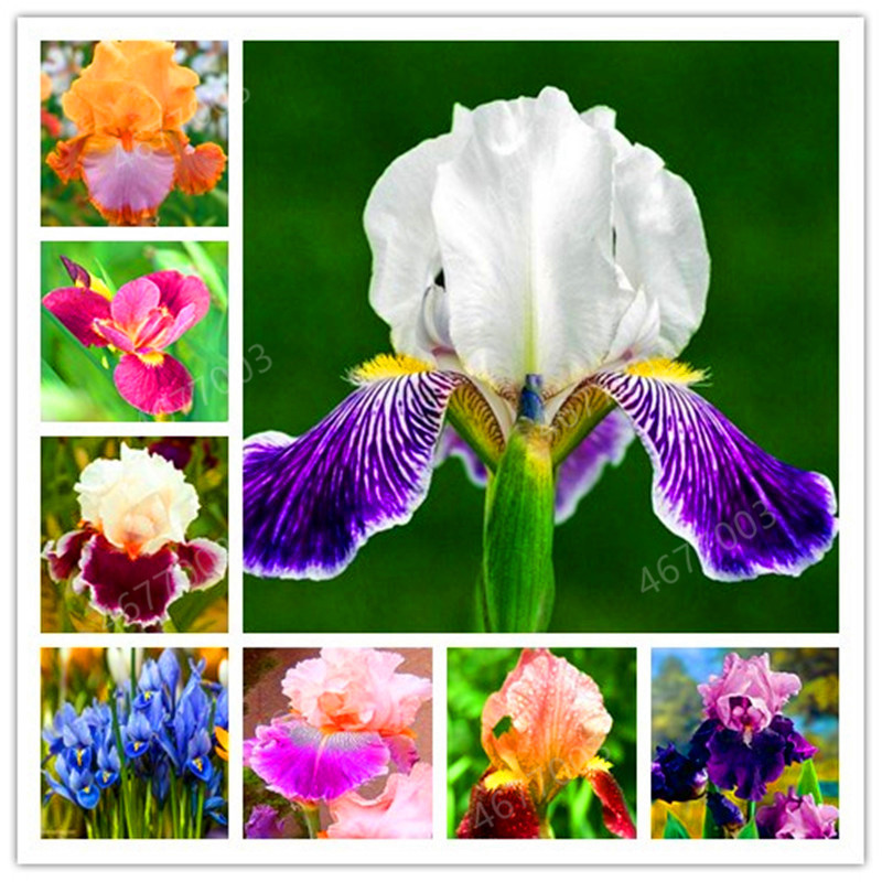 100 Pcs Iris Bonsai, Many Kinds Of Color Iris Potted Iris Orchid Rare Perennial Flower Bonsai Plants For Home Garden