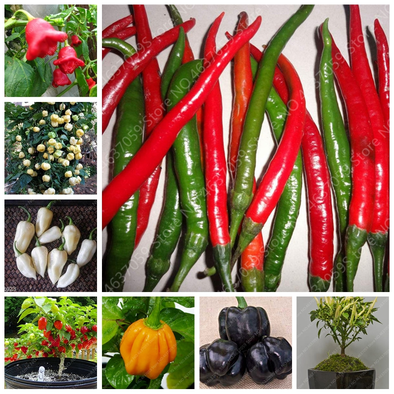 200 Pcs Giant Sweet Pepper Bonsai Easy Growing Paprika Chili Plants DIY Family Garden Vegetable Organic Chile Outdoor Plant