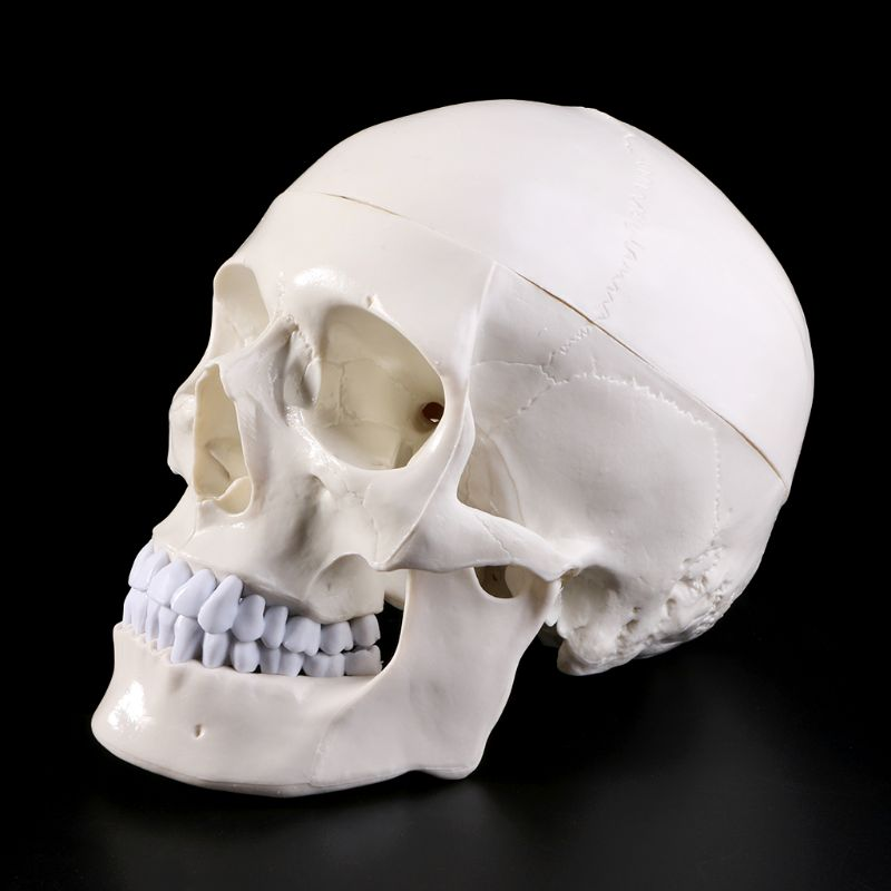 Human Anatomical Anatomy Head Skeleton Skull Teaching Model School Supplies Study Tool