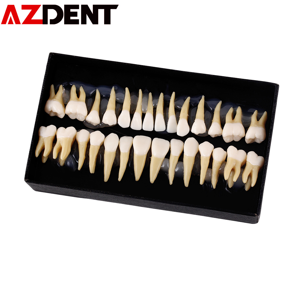 1:1 Dental 28 Pcs Demonstration Permanent Teeth Teach Study Model Dental Implant Dentist Practice Product Dental Teeth Model