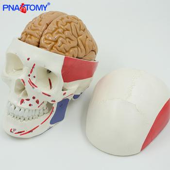 Brain anatomy model detachable 8 parts with instruction and muscular skull model life size medical school used PNATOMY 3x life size ocular anatomy eyeball model enlargement pupil vision correction for medical education school